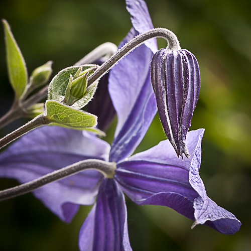Clematis integrifolia 'Blue Bell'