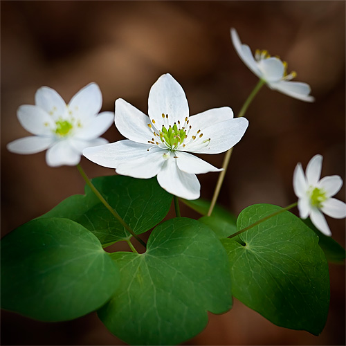 Anemonella  thalictroides (Rue anemone)