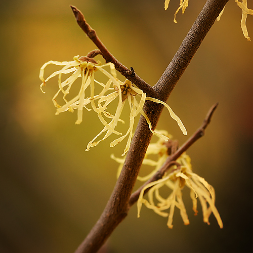 Hamamelis virginiana (Common Witch-hazel)