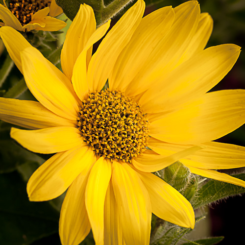 Helianthus mollis (Downy Sunflower)
