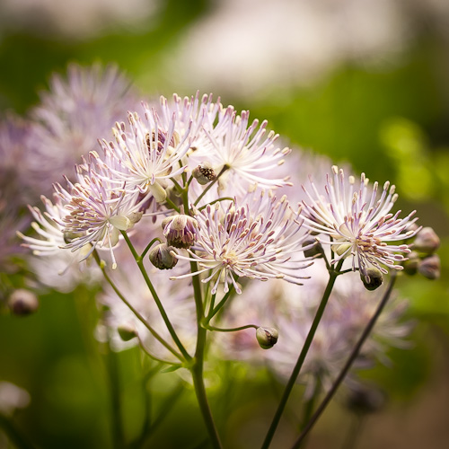 Thalictrum pubescens (Tall Meadow Rue)