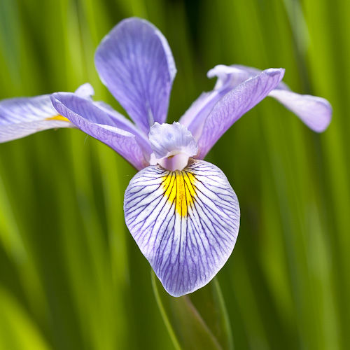 Iris virginica (Southern Blue Flag)