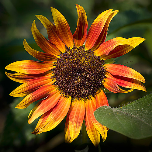 CRW_6291_sunflower-500