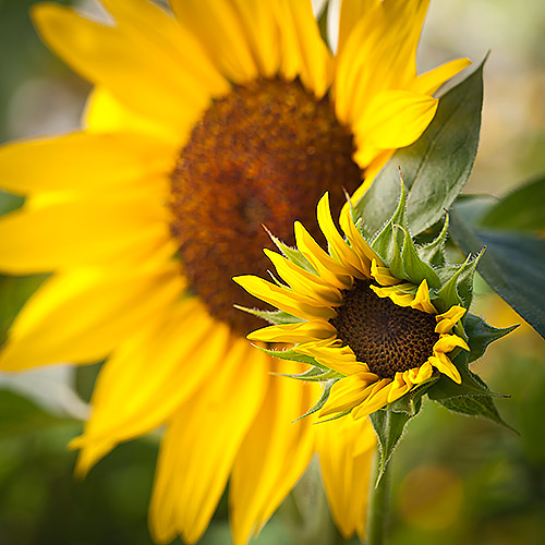 sunflower6_MG_1998-500