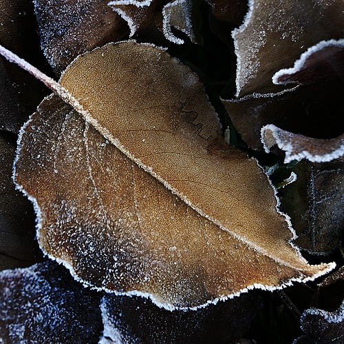 Frosty Pear Tree Leaf (5360)